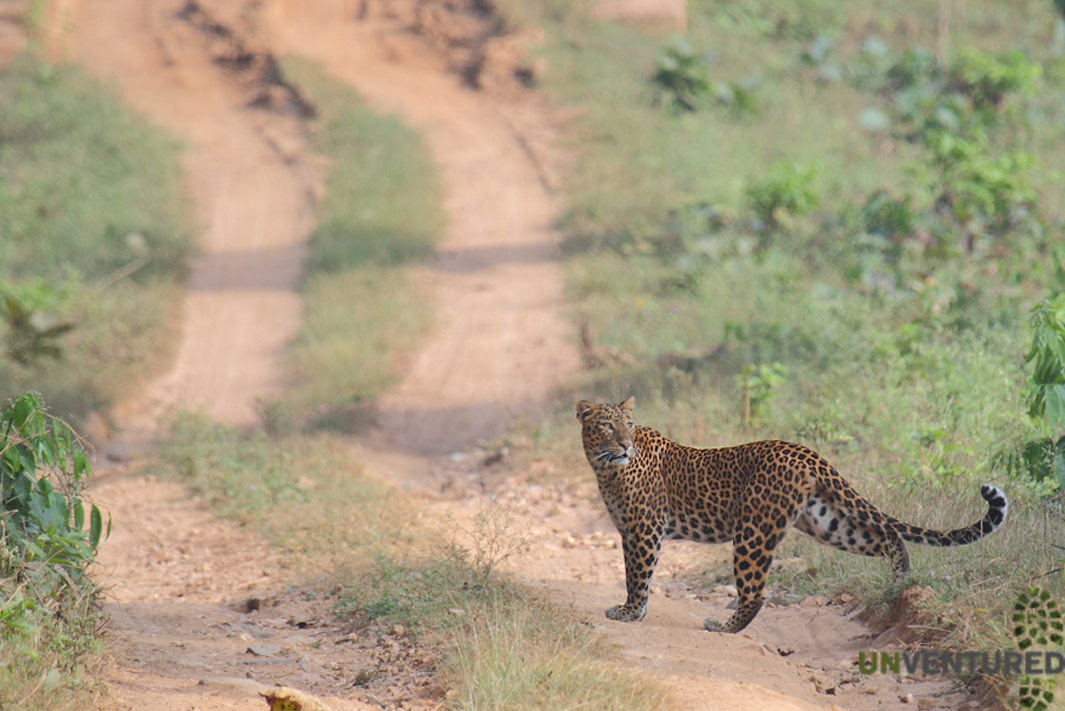 South India Charity Ride -Leopard