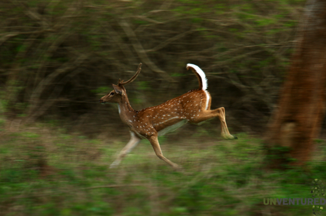 South India Charity Ride -Spotted Deer (Panning)